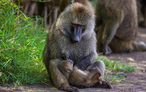 Бабуин-обезьяна-Описание-особенности-образ-жизни-и-среда-обитания-бабуина-16