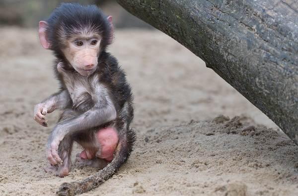Бабуин-обезьяна-Описание-особенности-образ-жизни-и-среда-обитания-бабуина-17