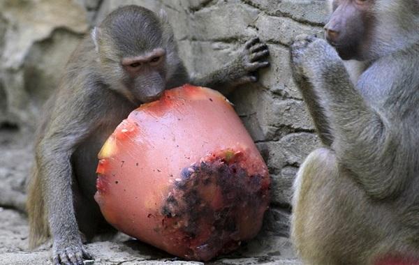 Бабуин-обезьяна-Описание-особенности-образ-жизни-и-среда-обитания-бабуина-19