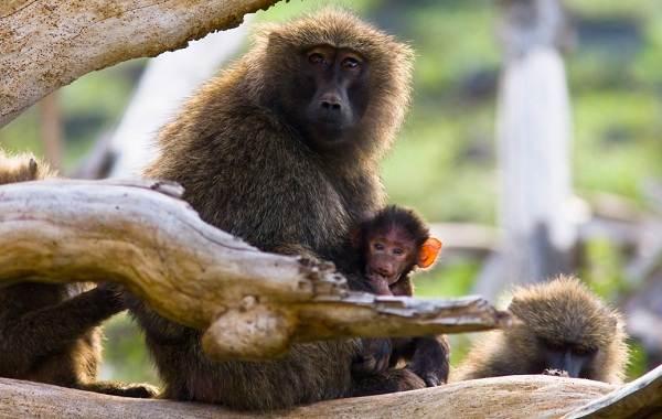 Бабуин-обезьяна-Описание-особенности-образ-жизни-и-среда-обитания-бабуина-2