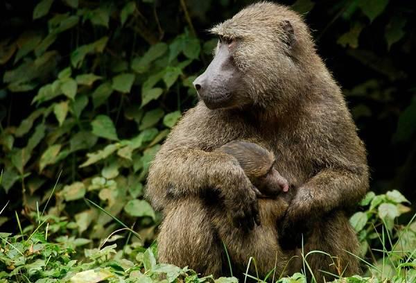 Бабуин-обезьяна-Описание-особенности-образ-жизни-и-среда-обитания-бабуина-3