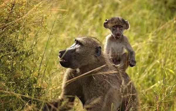 Бабуин-обезьяна-Описание-особенности-образ-жизни-и-среда-обитания-бабуина-4