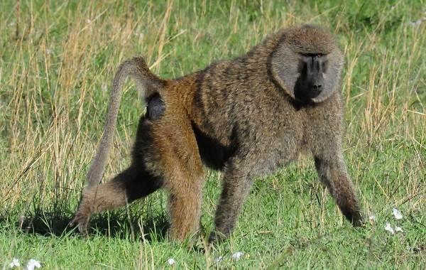 Бабуин-обезьяна-Описание-особенности-образ-жизни-и-среда-обитания-бабуина-5