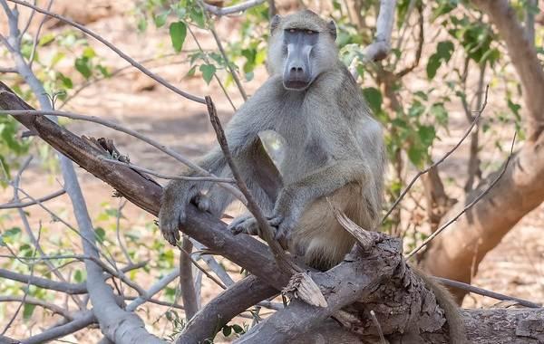 Бабуин-обезьяна-Описание-особенности-образ-жизни-и-среда-обитания-бабуина-6