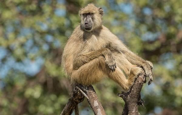Бабуин-обезьяна-Описание-особенности-образ-жизни-и-среда-обитания-бабуина-8