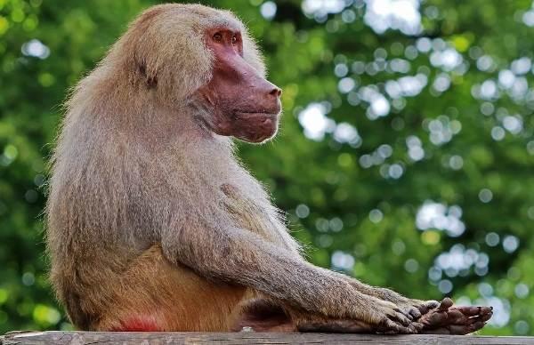 Бабуин-обезьяна-Описание-особенности-образ-жизни-и-среда-обитания-бабуина-9