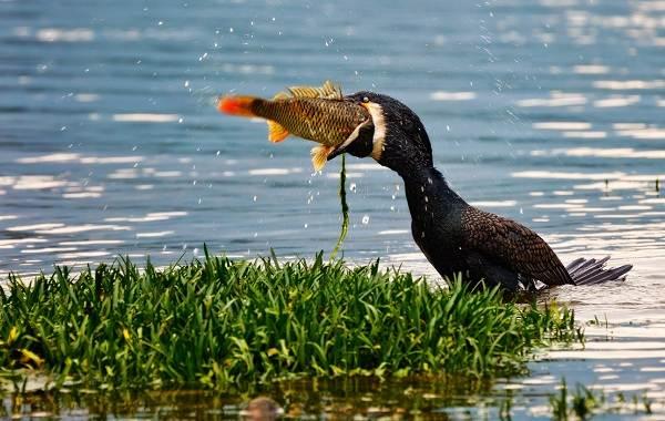 Баклан-птица-Описание-особенности-виды-образ-жизни-и-среда-обитания-бакланов-13