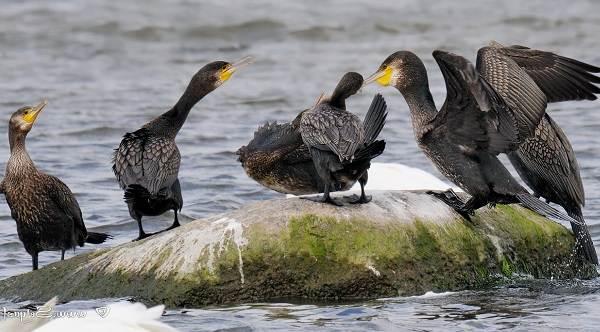 Баклан-птица-Описание-особенности-виды-образ-жизни-и-среда-обитания-бакланов-14