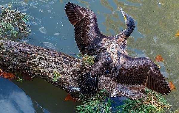 Баклан-птица-Описание-особенности-виды-образ-жизни-и-среда-обитания-бакланов-15