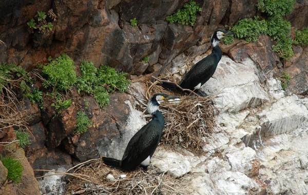 Баклан-птица-Описание-особенности-виды-образ-жизни-и-среда-обитания-бакланов-18