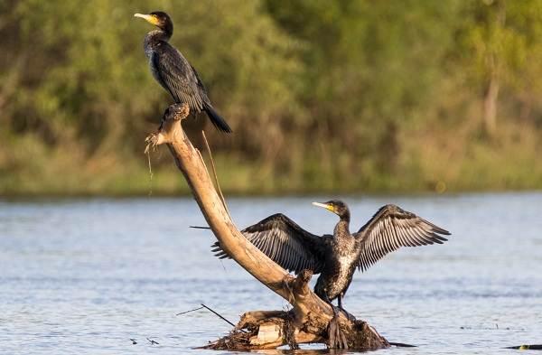 Баклан-птица-Описание-особенности-виды-образ-жизни-и-среда-обитания-бакланов-19