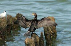 Баклан птица. Описание, особенности, виды, образ жизни и среда обитания бакланов
