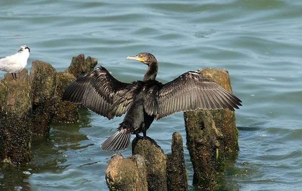 Баклан-птица-Описание-особенности-виды-образ-жизни-и-среда-обитания-бакланов-2