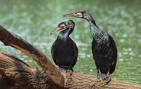 Баклан-птица-Описание-особенности-виды-образ-жизни-и-среда-обитания-бакланов-3