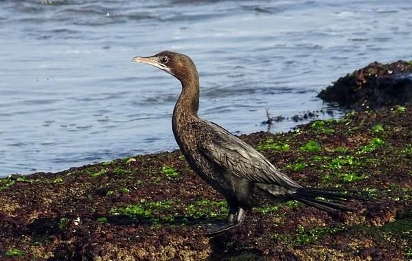 Баклан-птица-Описание-особенности-виды-образ-жизни-и-среда-обитания-бакланов-4