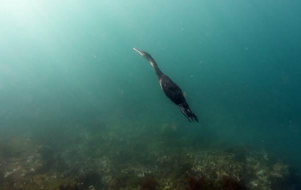 Баклан-птица-Описание-особенности-виды-образ-жизни-и-среда-обитания-бакланов-5