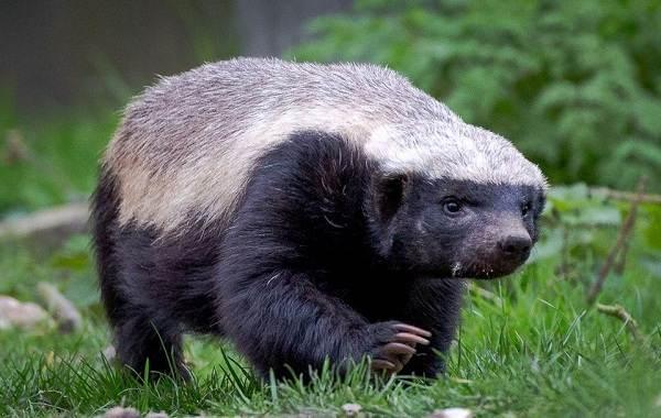 Барсук-животное-Описание-особенности-виды-образ-жизни-и-среда-обитания-барсука-10