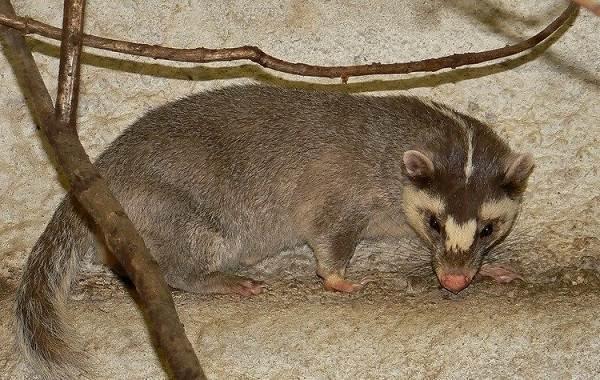 Барсук-животное-Описание-особенности-виды-образ-жизни-и-среда-обитания-барсука-12