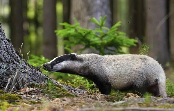 Барсук-животное-Описание-особенности-виды-образ-жизни-и-среда-обитания-барсука-13