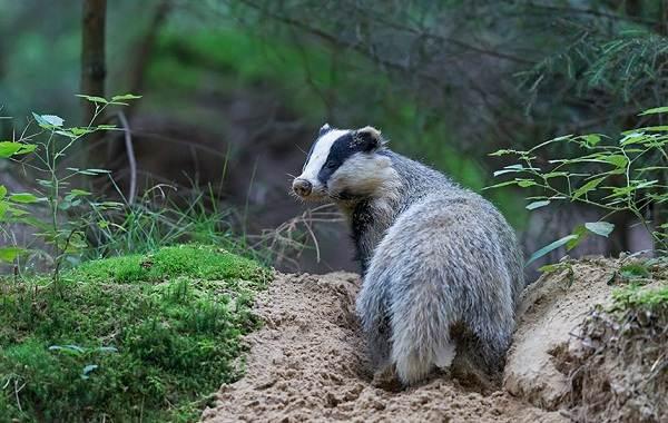 Барсук-животное-Описание-особенности-виды-образ-жизни-и-среда-обитания-барсука-17