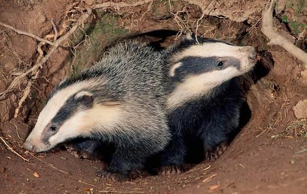 Барсук-животное-Описание-особенности-виды-образ-жизни-и-среда-обитания-барсука-18