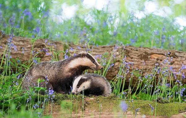 Барсук-животное-Описание-особенности-виды-образ-жизни-и-среда-обитания-барсука-4