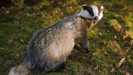 Барсук животное. Описание, особенности, виды, образ жизни и среда обитания барсука