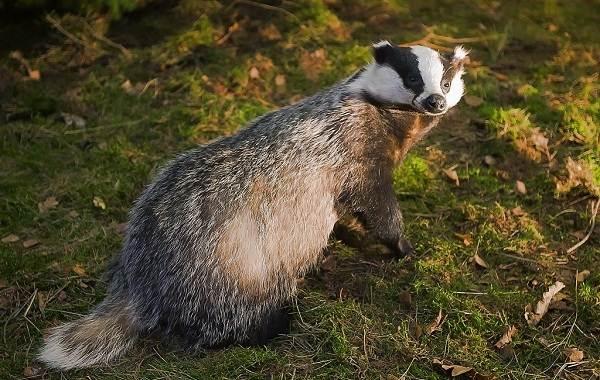 Барсук-животное-Описание-особенности-виды-образ-жизни-и-среда-обитания-барсука-5