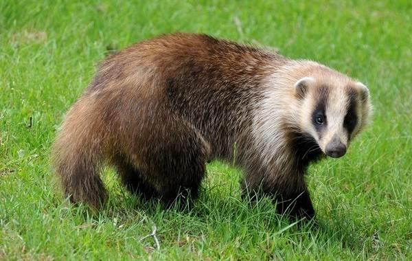 Барсук-животное-Описание-особенности-виды-образ-жизни-и-среда-обитания-барсука-6
