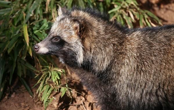 Барсук-животное-Описание-особенности-виды-образ-жизни-и-среда-обитания-барсука-7