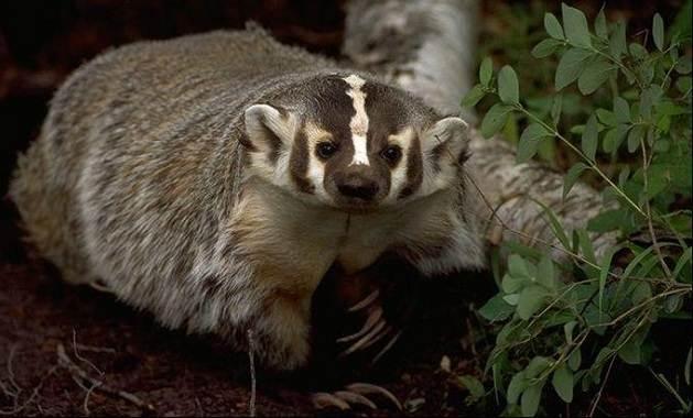 Барсук-животное-Описание-особенности-виды-образ-жизни-и-среда-обитания-барсука-8