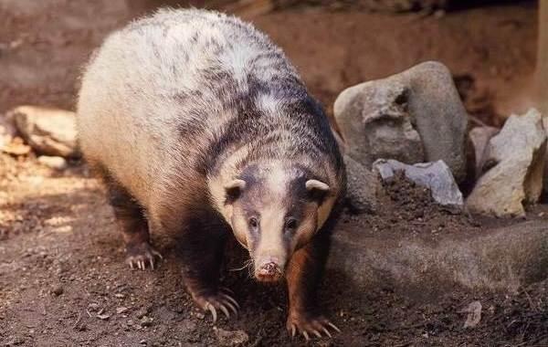 Барсук-животное-Описание-особенности-виды-образ-жизни-и-среда-обитания-барсука-9