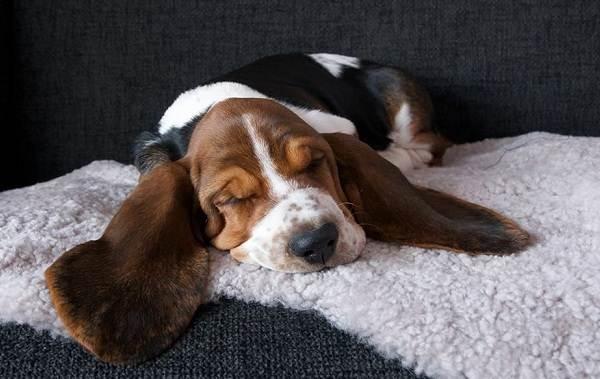 Бассет-хаунд-собака-Описание-особенности-виды-уход-и-цена-породы-бассет-хаунд-12