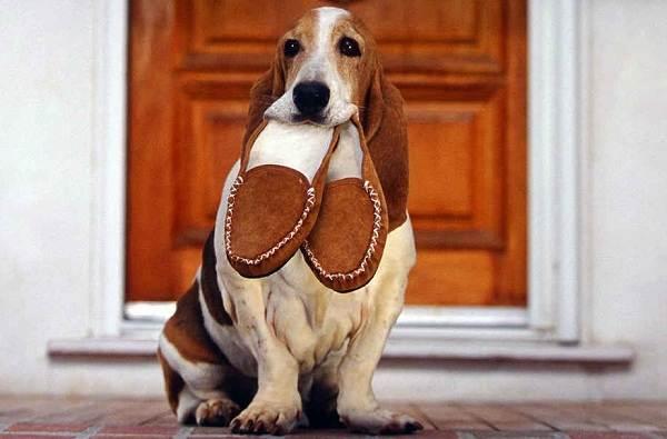 Бассет-хаунд-собака-Описание-особенности-виды-уход-и-цена-породы-бассет-хаунд-14