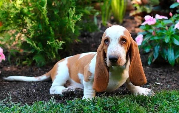 Бассет-хаунд-собака-Описание-особенности-виды-уход-и-цена-породы-бассет-хаунд-17