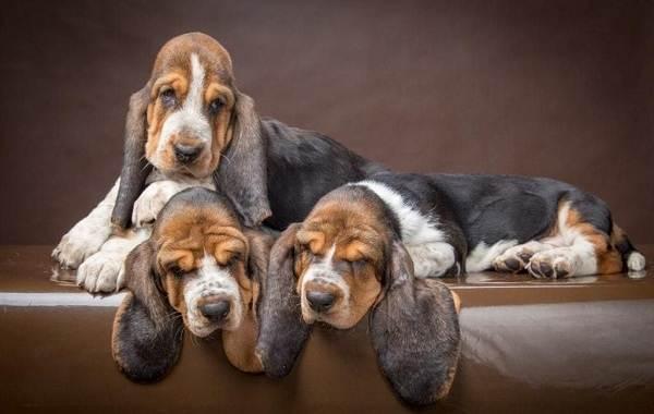 Бассет-хаунд-собака-Описание-особенности-виды-уход-и-цена-породы-бассет-хаунд-8