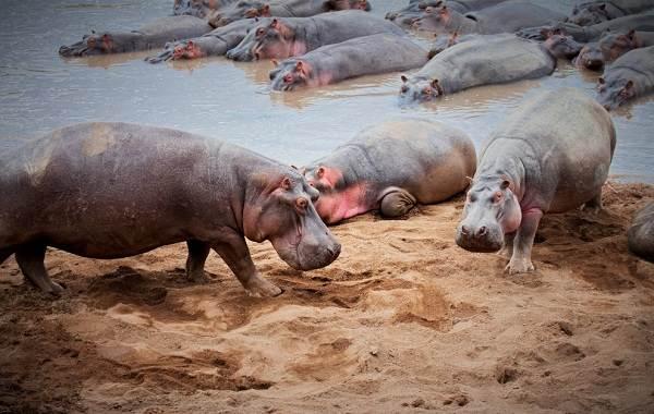 Бегемот-животное-Описание-особенности-виды-образ-жизни-и-среда-обитания-бегемота-10