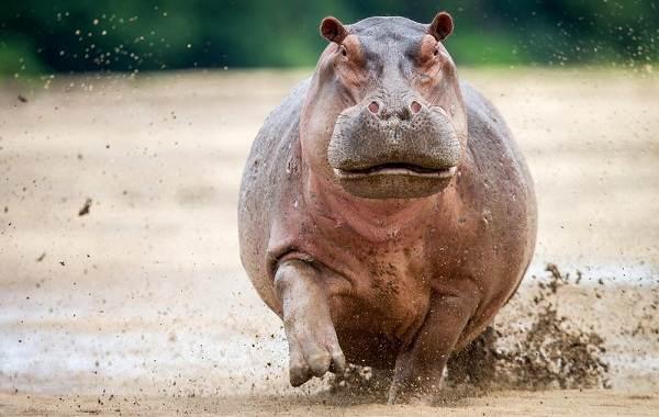 Бегемот-животное-Описание-особенности-виды-образ-жизни-и-среда-обитания-бегемота-11