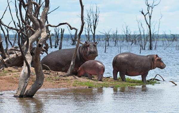 Бегемот-животное-Описание-особенности-виды-образ-жизни-и-среда-обитания-бегемота-12