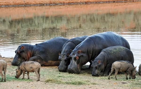 Бегемот-животное-Описание-особенности-виды-образ-жизни-и-среда-обитания-бегемота-13
