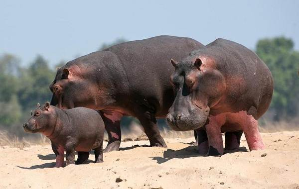 Бегемот-животное-Описание-особенности-виды-образ-жизни-и-среда-обитания-бегемота-14