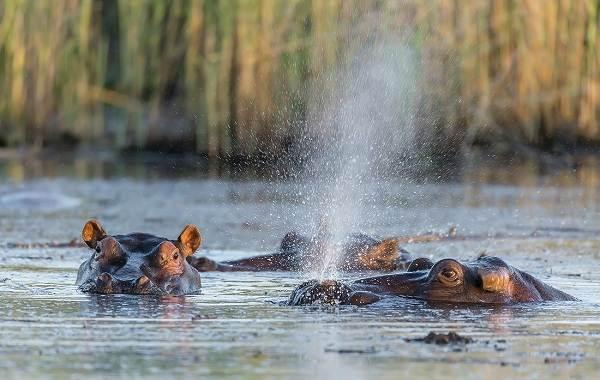 Бегемот-животное-Описание-особенности-виды-образ-жизни-и-среда-обитания-бегемота-15