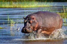 Бегемот животное. Описание, особенности, виды, образ жизни и среда обитания бегемота