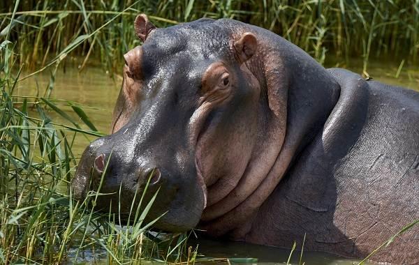 Бегемот-животное-Описание-особенности-виды-образ-жизни-и-среда-обитания-бегемота-4
