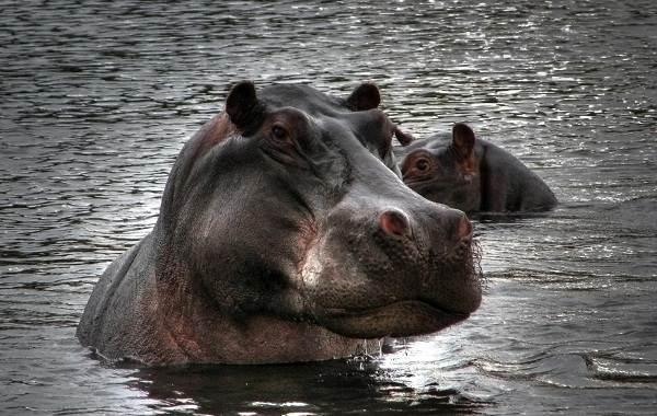 Бегемот-животное-Описание-особенности-виды-образ-жизни-и-среда-обитания-бегемота-5