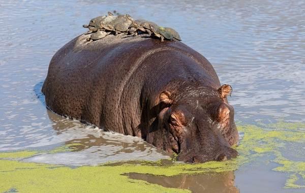 Бегемот-животное-Описание-особенности-виды-образ-жизни-и-среда-обитания-бегемота-7