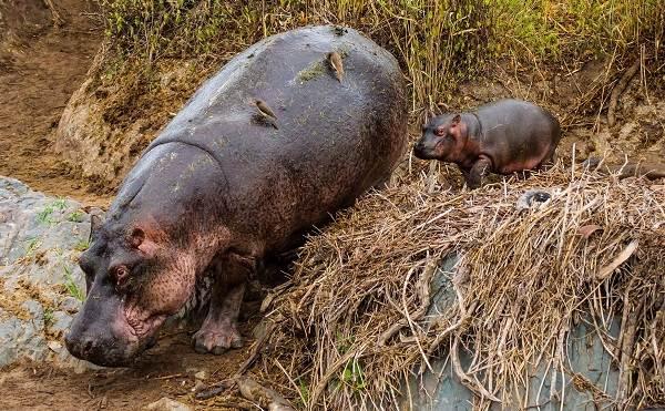 Бегемот-животное-Описание-особенности-виды-образ-жизни-и-среда-обитания-бегемота-8