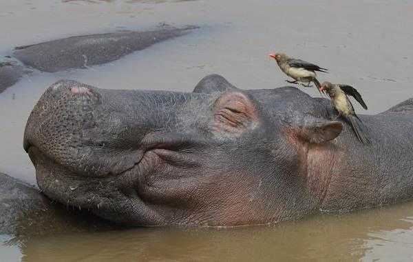 Бегемот-животное-Описание-особенности-виды-образ-жизни-и-среда-обитания-бегемота-9