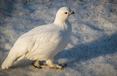 Белая куропатка птица. Описание, особенности, образ жизни и среда обитания белой куропатки
