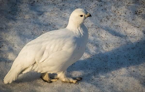 Белая-куропатка-птица-Описание-особенности-образ-жизни-и-среда-обитания-белой-куропатки-1